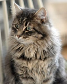 """I looked up """"fluffy"""" in the dictionary and this was the definition! I looked up """"fluffy"""" in the dictionary and this was the definition! Pretty Cats, Beautiful Cats, Animals Beautiful, Siberian Forest Cat, Siberian Cat, Kittens Cutest, Cats And Kittens, Tabby Cats, Animals And Pets"""