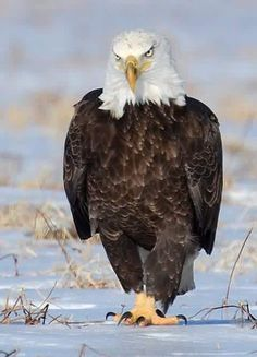 The American Bald Eagle, our National Symbol. Ben Franklin wanted it to be a Turkey ! Love Birds, Beautiful Birds, Animals Beautiful, Eagle Pictures, Animal Pictures, Animals And Pets, Cute Animals, Photo Animaliere, Tier Fotos