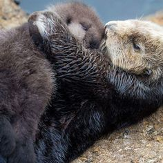A wild Sea Otter pup was born December 20 in the Great Tide Pool at Monterey Bay Aquarium! Learn more and see more pics and a vid at ZooBorns.com #sweetsweetness #seaotter #montereybayaquarium #zooborns #hug #squee by zooborns