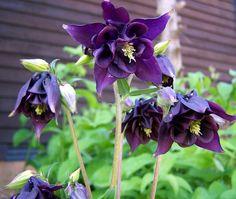 Columbine #garden #gardening #flowers #columbine