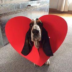 A Valentine basset <3