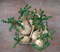 Euphorbia sqaurossa