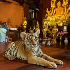 @natgeo Check out this new story by Sharon Guynup and video by @stevewinterphoto about tiger trafficking from a Buddhist monastery in Thailand: http://ift.tt/1OJAxlb Tigers at Thailands famed Tiger Temple live in cramped concrete enclosures. A new report links the monastery which houses 147 tigers to the black market tiger trade. @sharonguynup  The Department of National Parks which legally owns the tigers in the temple will begin to move them out within the week to a Thai Govt. facility of…