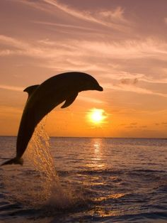 Bottle-Nosed Dolphin Leaping at Sunset.