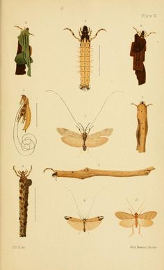 1904 - New Zealand Neuroptera: a popular introduction to the life-histories and habits of may-flies, dragon-flies, caddis-flies and allied insects inhabiting New Zealand, including notes on their relation to angling - By G.V. Hudson - via Biodiversity Heritage Library