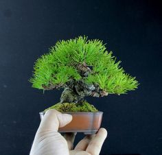 Tiny and wonderful Bonsai tree, by Miyazato Rintaro #bonsai #盆栽 #盆景 #bonsaitree #nature #trees