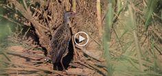 Mabalingwe 2016 http://birdwatcher.co.za/mabalingwe-2016/ #BirdwatcherSA #birdingsouthafrica #birdingphoto #birdingphotos #birdssouthafrica #birdsofsouthafrica