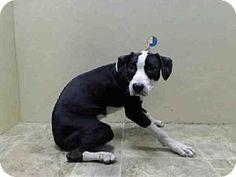 Brooklyn, NY - American Pit Bull Terrier/Labrador Retriever Mix. Meet MOLLY a Dog for Adoption.