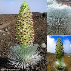 Argyroxiphium sandwicense – angielska nazwa silversword oznacza 'srebrny miecz'.  Roślina ta ma wąskie srebrzyste liście, dorastające do 40cm, i tworzy srebrzystą kulę.  Ta egzotyczna roślina jest endemitem pochodzącym z wysp hawajskich.  Może nie uwierzycie, ale należy do tej samej rodziny co słonecznik, czy astry.  Roślina ta rośnie na wulkanicznych terenach, bardzo trudnych dla innych roślin.  Ciekawostką jest fakt, że rośnie od 5 do 20 lat, a po kwitnieniu wydaje nasiona i umiera.