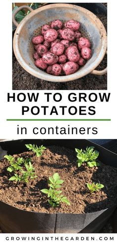How to Grow Potatoes in Containers | Growing In The Garden#containers #garden #grow #growing #potatoes Fall Vegetables, Container Gardening Vegetables, Container Plants, How To Grow Vegetables, Growing Vegetables In Pots, Gardening For Beginners, Gardening Tips, Flower Gardening, Indoor Gardening Supplies