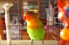 Frans! My agapornis / love bird