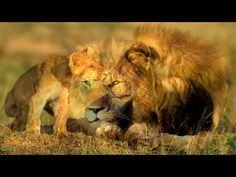 The lion (Panthera leo) is one of the five big cats in the genus Panthera and a member of the family Felidae. The commonly used term African lion collectivel. Wild Life, Leo, Youtube, Animals, Animales, Animaux, Wildlife Nature, Animal, Animais