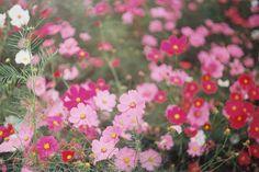 Instagramアカウント: 「或る日の景色  #flowers #cosmos #ig_japan #igersjp #igers #film #filmphoto #filmphotography #leica #コスモス #秋桜 #ライカ…」