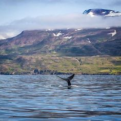 We can hardly contain ourselves. Our summer season starts in just two weeks!! #whalewatching #hauganes #iceland #humpback #humpbackwhale #whales #northiceland #niceland #eyjafjörður