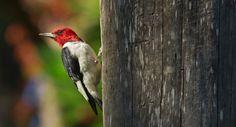 Red-headed Woodpecker from the Norfolk Botanical Garden, Norfolk, Virginia.