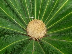 The heart of a Palm Tree