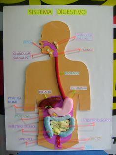 maqueta realista del sistema digestivo 2
