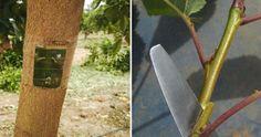 ÁRBOLES FRUTALES nos cuenta qué son y para qué sirven los injertos frutales…
