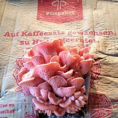 Pilzpaket des Tages vom 30. Oktober. Rosenseitlinge. Mehr Fotos gibt es auf www.pilzpaket.de. Auf Kaffeesatz zuhause Pilze züchten. #Kaffeesatz #Pilze #Pilzpaket #Geschenk