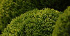 ¿Cuándo es el mejor momento para podar arbustos y setos?. Elige el momento del año adecuado para podar y recortar arbustos y setos, manteniéndolos así saludables y prolijos. Algunos de ellos se benefician de ser recortados dos veces al año, mientras que otros lo hacen de una poda anual, a comienzos de la estación de crecimiento. Antes de recortar las plantas del paisaje, determina cuándo es el mejor ...