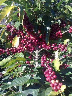 Nuestro grano de oro.  Mata de café