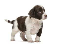 English Springer Spaniel Pup ~ Classic Look English Springer Spaniel, Irish Setter, Old Dogs, Beautiful Dogs, Mans Best Friend, Baby Animals, Dogs And Puppies, Paradise, Cats