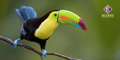 Discover exotic Costa Rica animals & wildlife on your vacation. From rambunctious monkies to adorable sloths, Costa Rica is crawling with wildlife! Toucan Toco, Toucan Images, Voyage Costa Rica, Animal Reiki, Puffins Bird, Amazon Rainforest, Tropical Birds, Exotic Birds, Fauna