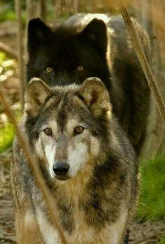 "- all wolf: ""Amazing animals ❤️"" – draw – -alles wolf: ""Amazing animals ❤️"" - drawing - . - all wolf: ""Amazing animals ❤️"" – draw – - Grey wolf 🐺🐺DIY Beautiful Wolf Crafts,Ac. Wolf Spirit, My Spirit Animal, My Animal, Amazing Animals, Animals Beautiful, Cute Animals, Wild Animals, Wolf Pictures, Animal Pictures"