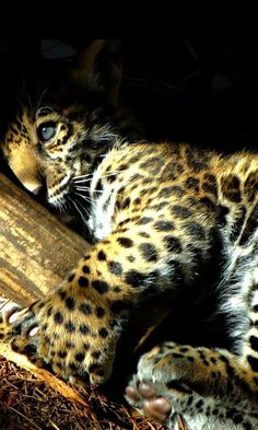 Leopard cub share moments