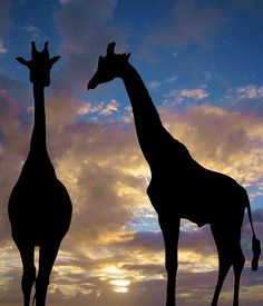 Why is it giraffe silhouettes are so wonderful? Beautiful Creatures, Animals Beautiful, Cute Animals, Wild Animals, African Animals, African Safari, Giraffe Silhouette, Africa Silhouette, Silhouettes