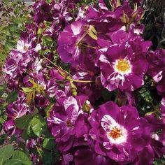 Zdjęcie Oh Wow/Purple Splash (Wekspitrib)
