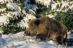 Wildschweinkeiler im Winter wechselt ueber eine Waldlichtung - (Schwarzkittel - Wildschwein), Sus scrofa, Wild Boar tusker in winter crossing a forest glade - (Wild Hog - Feral Pig)