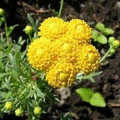 200+ Ageratum Yellow Flower Seeds , Under The Sun Seeds