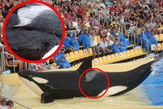 Forced Inbreeding and Bloody Battles—Killer Whales Live in Horror at Spanish Theme Park | There is not a petition, but please do sign and share the pledge NOT to purchase tickets to nor attend events utilizing whales and dolphins kept in captivity for such purposes. Thanks.