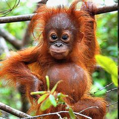 Baby Orangutan :)