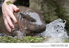 The Internet needs more baby hippos