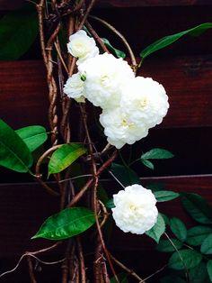 Rosa blanca trepadora