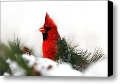 Northern Cardinal (Cardinalis cardinalis), Red Cardinal by Christina Rollo © www.rollosphotos.com. A beautiful male Northern Cardinal with bright red feathers sitting in snow covered pines makes a great holiday greeting card or seasonal wall art.