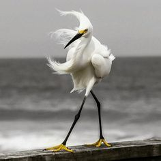 "A Snowy Egret: ""A Fine Balancing Act!"""