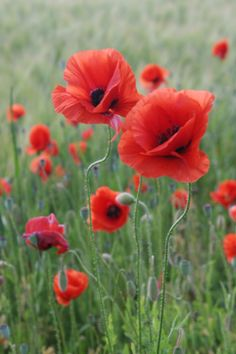 poppies – Famous Last Words