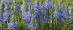 "A photograph of the the spring flowering Specialty Bulbs cultivar ""Camassia"""