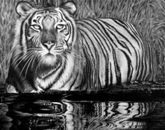 Graphite Drawings - Reflective Tiger  by Jerry Winick