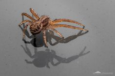 Jumping spider #2 - This 5mm tall jumping spider [family Salticidae] was walking…