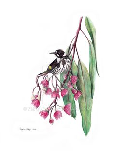 New Holland Honey-eater on Pink Flowering Gum by meaghanr on @DeviantArt By Meaghan Roberts