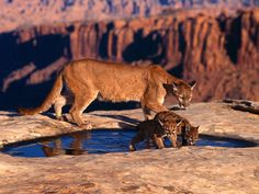 Cougar W/ Cubs Glossy Poster Picture Photo Puma Mountain Lions Cats Panthers 788 & Garden Cubs Wallpaper, Tier Wallpaper, Animal Wallpaper, Baby Animals, Funny Animals, Cute Animals, Animals Images, Wild Animals, Pumas Animal
