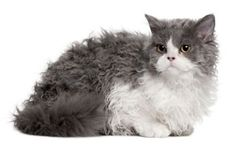 Of the curly cat breeds, I probably like the Selkirk rex the best. The coat is longer and more poodle like, and the features are not as exaggerated as the Devon or Cornish rexes.