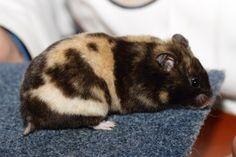 Tortoiseshell SH Syrian Hamster | www.Dwerghamster.nl - Gallinova 2012