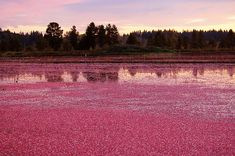 go to a cranberry field and Walk through it with big ole boots on