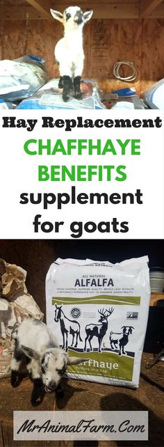We cut our feed costs by giving our goats Chaffhaye. Chaffhaye benefits include less waste and higher concentration of nutrients. Keeping Goats, Raising Goats, Goat Care, Nigerian Dwarf Goats, Goat Meat, Goat Farming, Baby Goats, Hobby Farms, Livestock