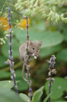 Mouse On Lavender Ladder